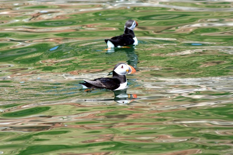 A pair of puffins swimming just off the Anglesey coast